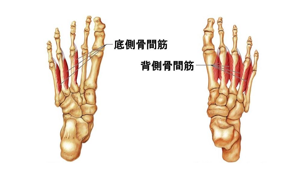 底側骨間筋背側骨間筋