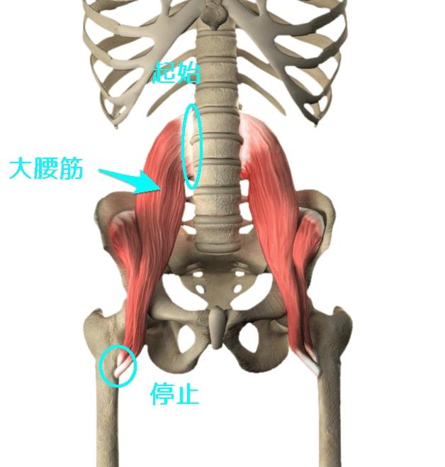 psoas-major-muscle