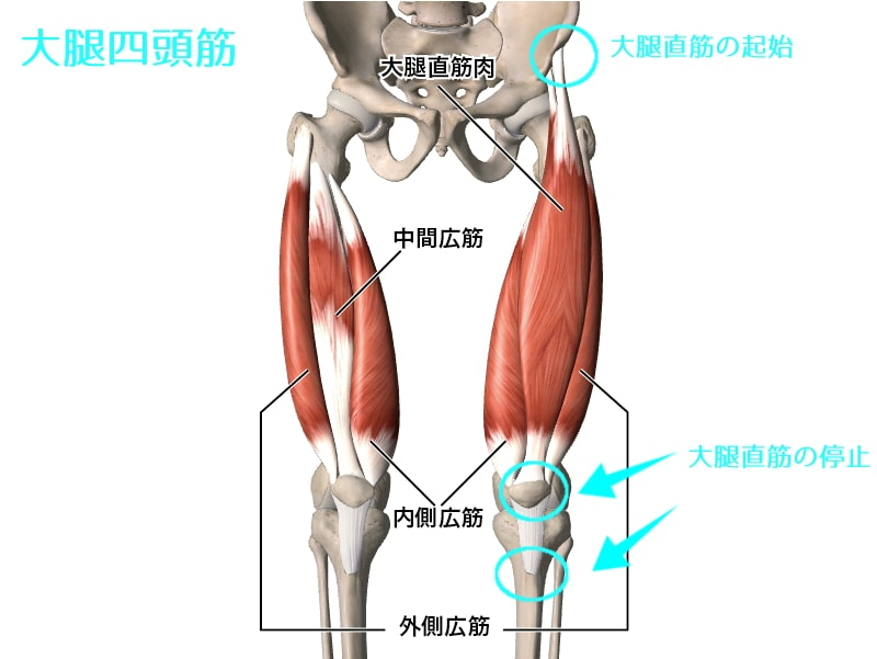 quadriceps-femoris-muscle
