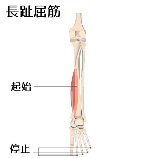 長趾屈筋1