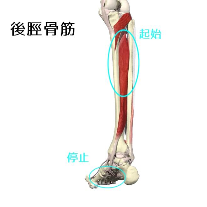 後脛骨筋1