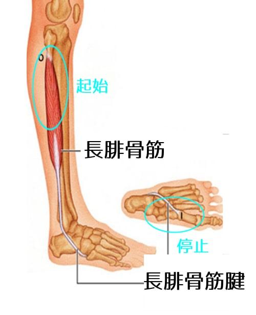 長腓骨筋1