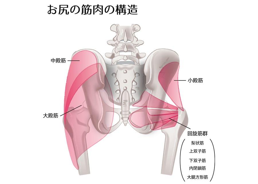 お尻の筋肉の構造