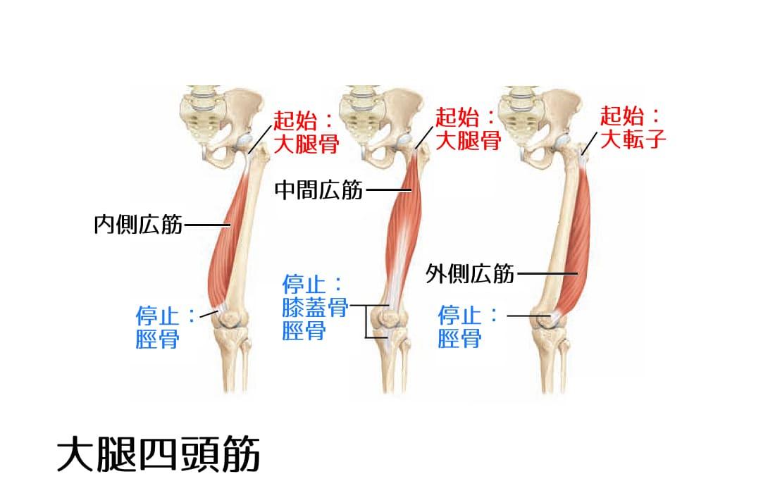 大腿四頭筋2