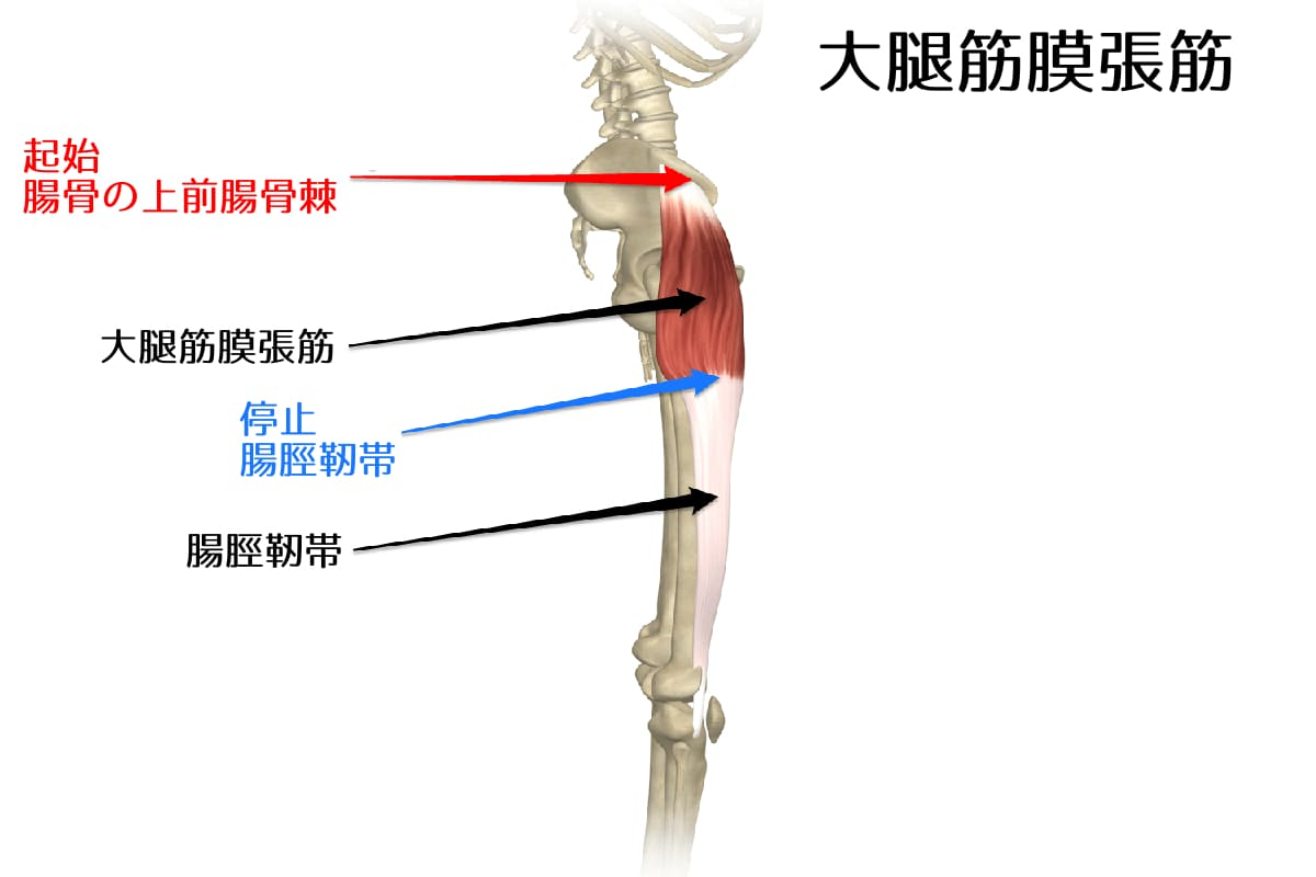 大腿筋膜張筋1